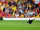 След совата, и гълъб загина на футболен мач