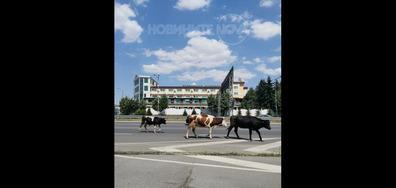 Крави по пътищата...Пълен абсурд!