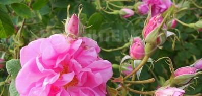 С аромат на казанлъшка маслодайна роза