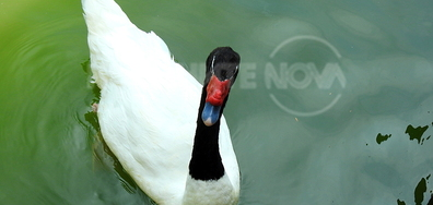 Интересно - красив бял лебед с черна шия! :)