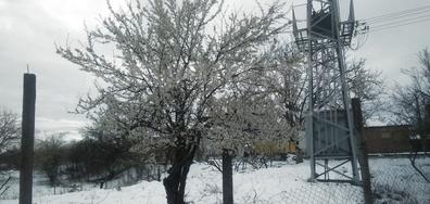 Цъфтеж в снега