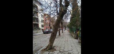 Опасни дървета