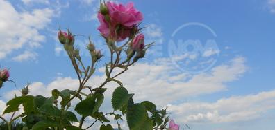 С дъх на рози!