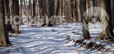 Слънчево-снежна е гората!