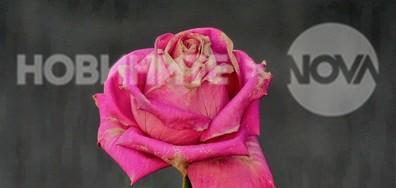 Оцелялата царица на цветята!