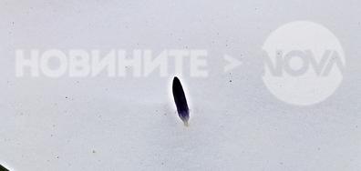 Въпреки снега, минзухарите с нетърпение чакат пролетта!