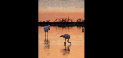 Фламинго в Атанасовското езеро в Бургас по изгрев