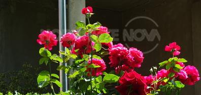 Много рози в града!