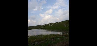 Пеликани на язовира на село Божан