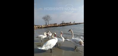 Лебедите във Варна