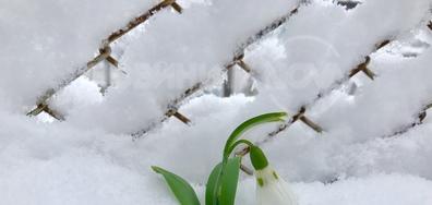 Нежна пролетна принцеска сред снега