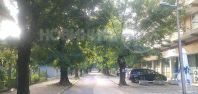 Изсичане на 100-годишни здрави дървета