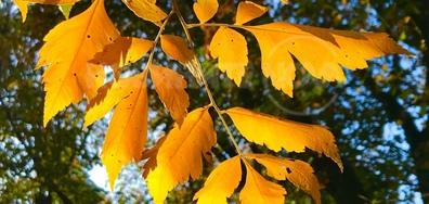 Клонче златна есен