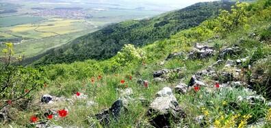 Диви родопски лалета над Асеновград