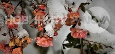 Розички в снега