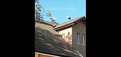 Красиви щъркели в село Звездица