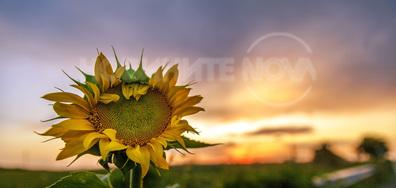 Красив слънчоглед, усмихващ се на слънцето