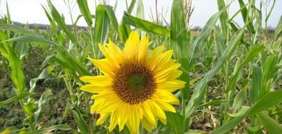 Един слънчоглед от днес за щастие на всички!