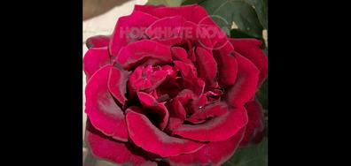 Царицата на розите!