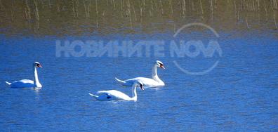 Лебедите са все още в Разградско!