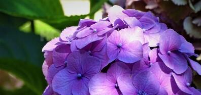 Хортензия в цвят лилав!