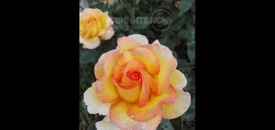 Розата на Розовото Фламинго