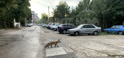 Лисица в града