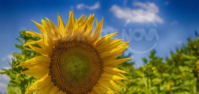 Лятно слънчице