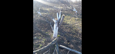 Убити 160 дървета в гр. Брезник, област Перник