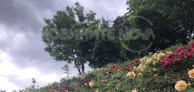 НДК - пейзаж от рози и настъпващо лято