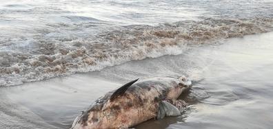 мъртъв делфин