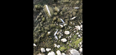 Отровена риба в р. Джерман