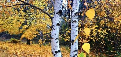 Нежна брезичка в златната есенна гора