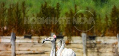 Розово фламинго край Бургас