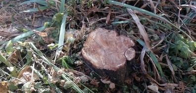 В Свищов отрязаха живи дървета
