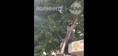 Опасно дърво в Добрич