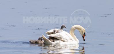 Женски лебед се грижи за малките си