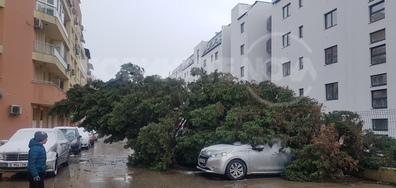 Паднал Бор от силен вятър днес във Варна кв.Трошево