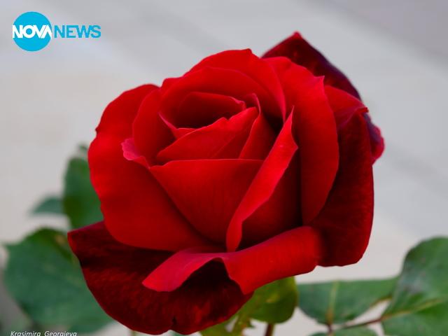 Една ямболска роза