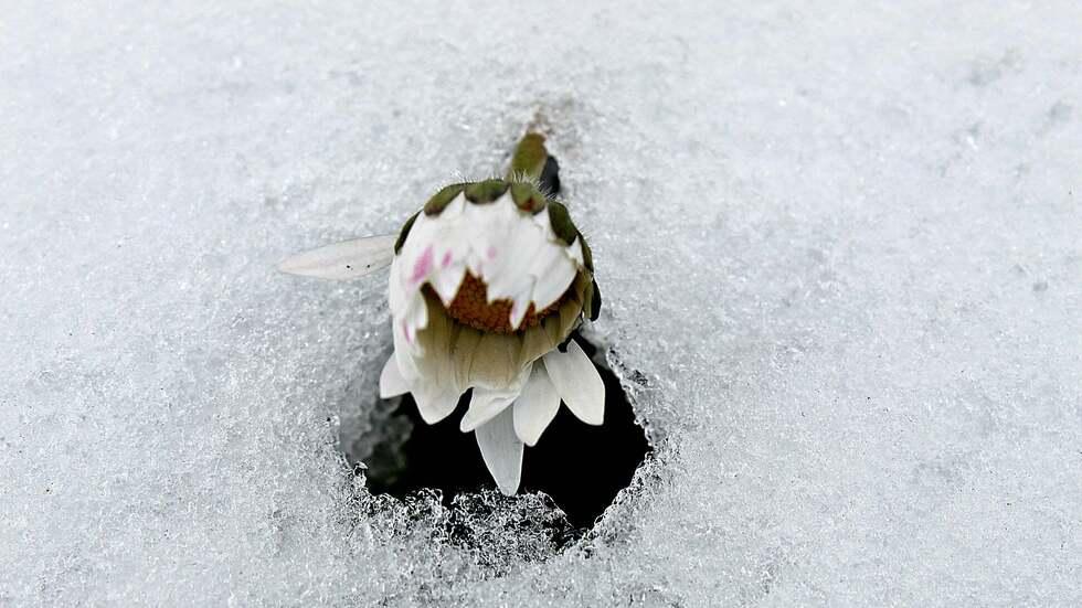 Цветята упорито надничат през снега. Пролетта е неизбежна !