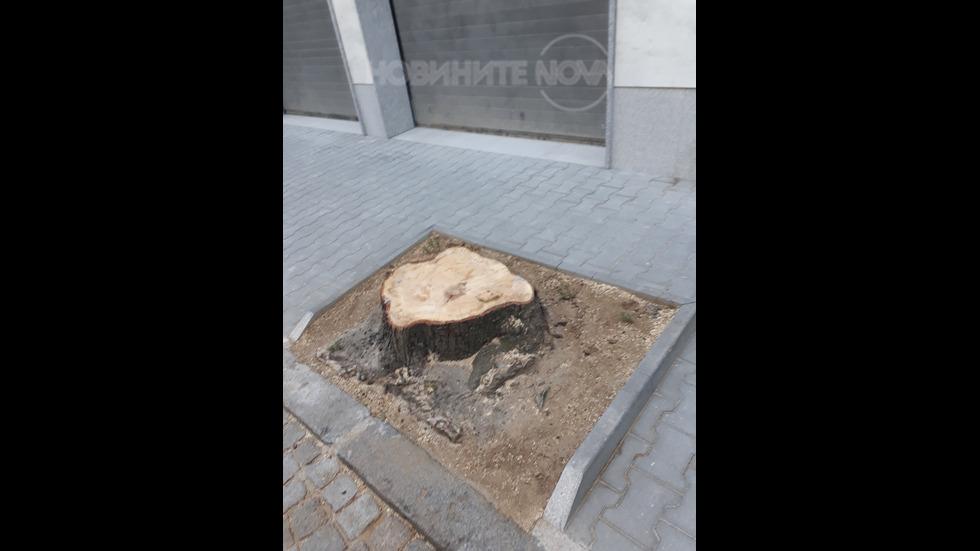 Изсичане на три дървета в София
