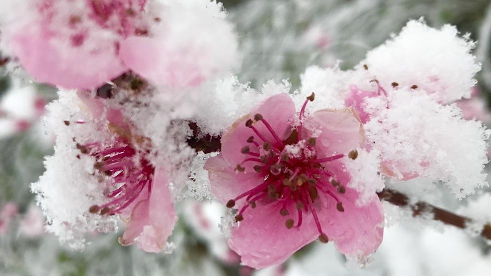 Отново сняг посипа пролетта