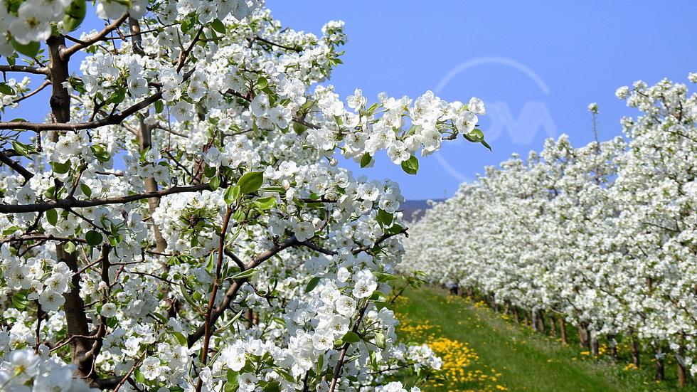 Пролетна крушова градина!
