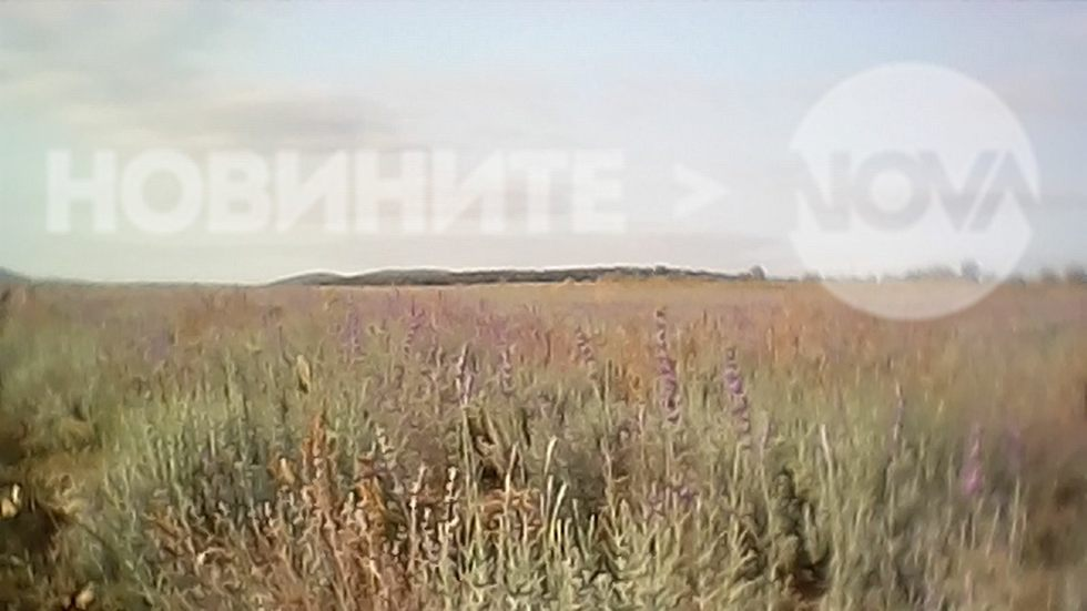 Цъфнала лавандула