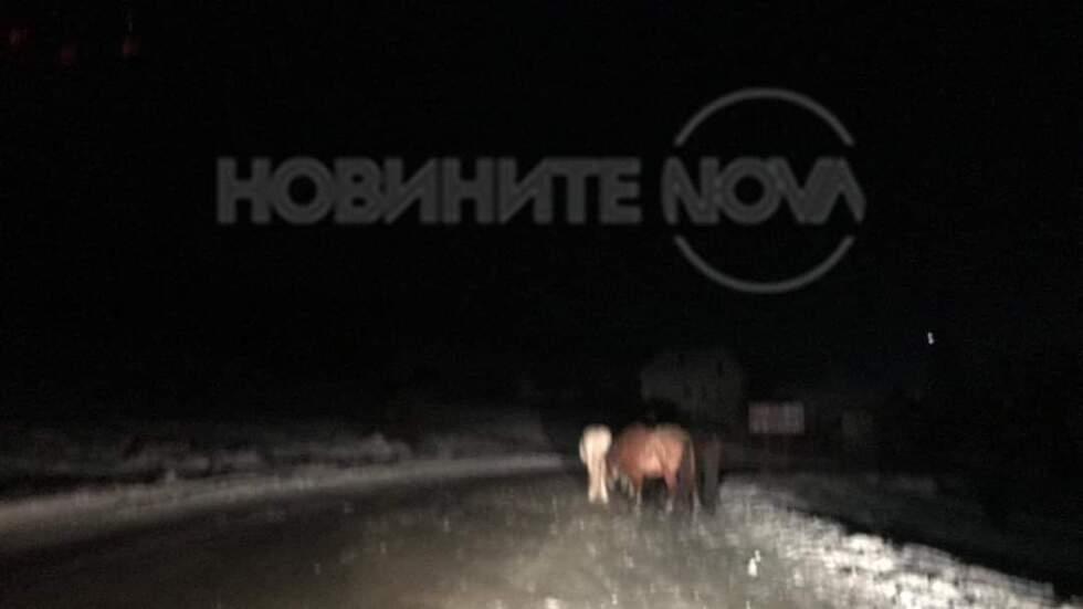 Безстопанствените коне на пътя край Самоков