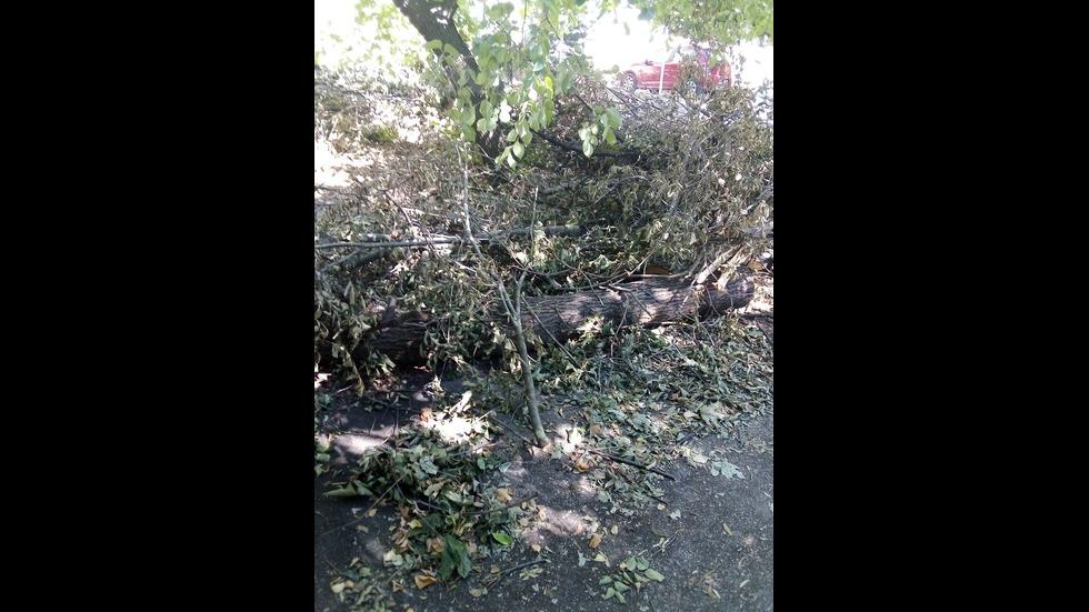 Паднало дърво от буря