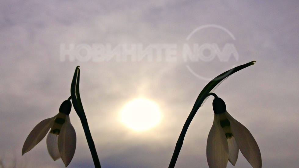 Нежни кокиченца под мъгливото зимно слънце