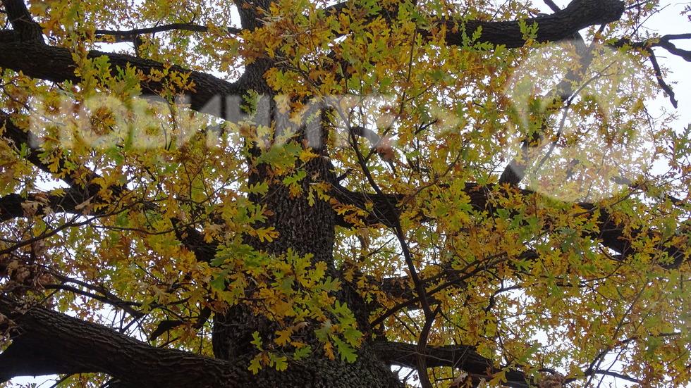 Вековният дъб,все още с листа!
