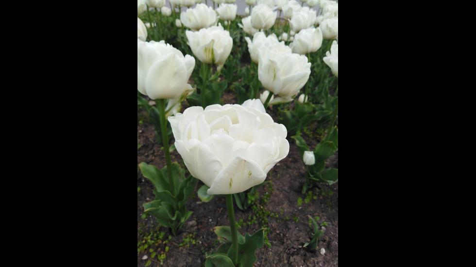 Бяла красота