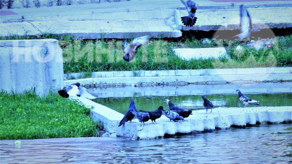 Гълъбите са жадни